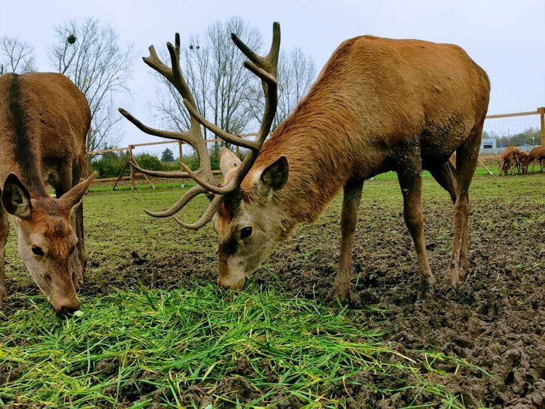 Registrovaný farmový chov Danielej a Jelenej zveri.